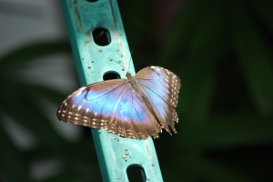 blue butterfly tracy